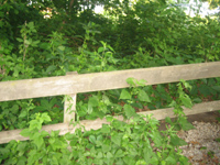 Overgrowth along Railing